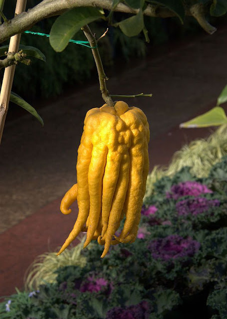 Quả PHẬT THỦ - Citrus medica L.var. digitata Riss - Nguyên liệu làm thuốc Chữa Ho Hen