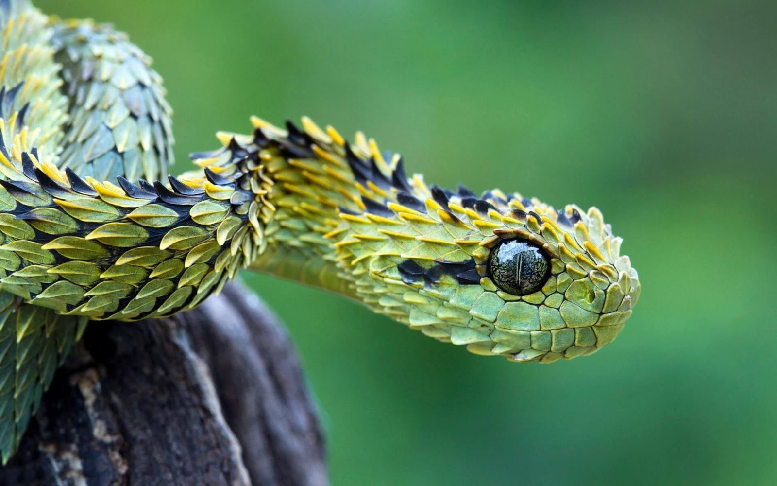 Download Snake HD Wallpaper Images Your Or 4K UHD 5K 8K Ultra Desktop Monitors Android Mobiles Apple Iphone Laptop Screen And Tablets