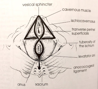 The triangle and figure of eight of the pelvic floor. Credit Eric Franklin