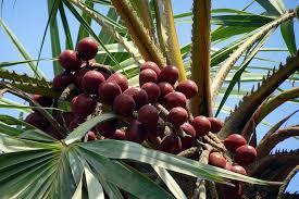 Tanaman zuriat yaitu tanaman pohon palm yang biasanya hidup secara liar di padang rumput Manfaat Tanaman Zuriat (Hyphaene thebaica)