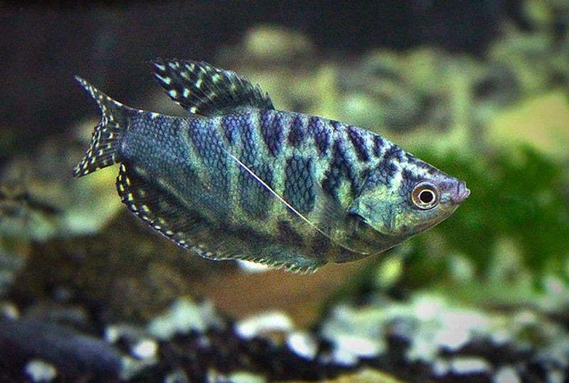 Jenis Ikan Sepat Hias-Ikan Sepat Brazil