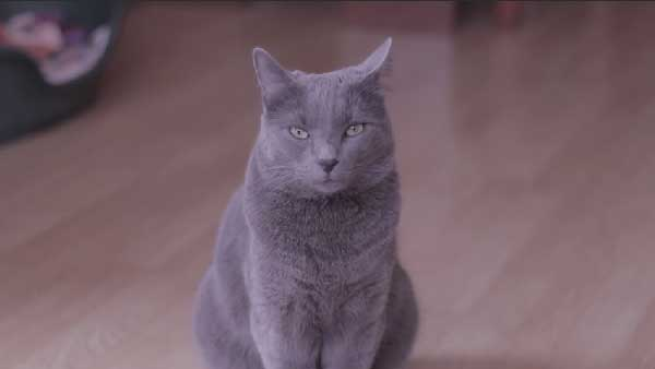 pattern baldness in cats