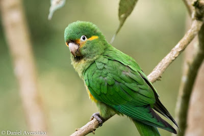 Golden plumed parakeet