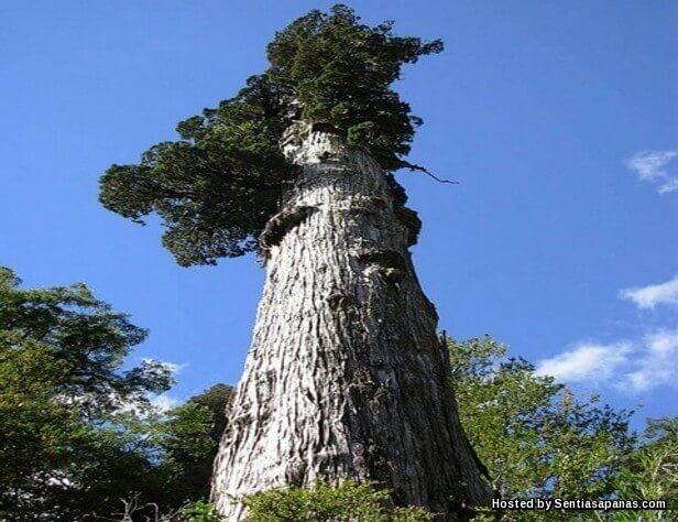 Pokok Patagonian Cypress 'Alerce'