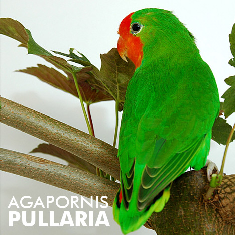 1000 images about Agapornis pullarius on Pinterest