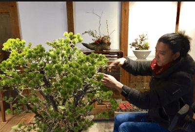 Perawatan Bonsai Beringin