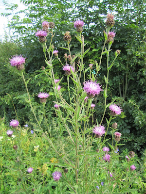 Centaurea nigra - Common Knapweed