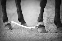 Sağ ön ve arka ayakları köstek ile bağlanmış bir at