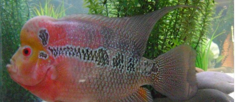 Teknik Budidaya Ikan Louhan yang Berhasil serta Cara Merawatnya