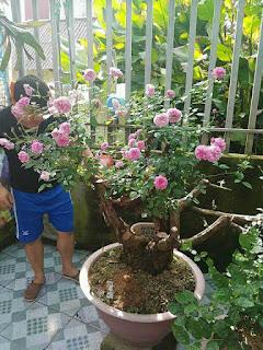 kỹ thuật ghép cây hoa hồng