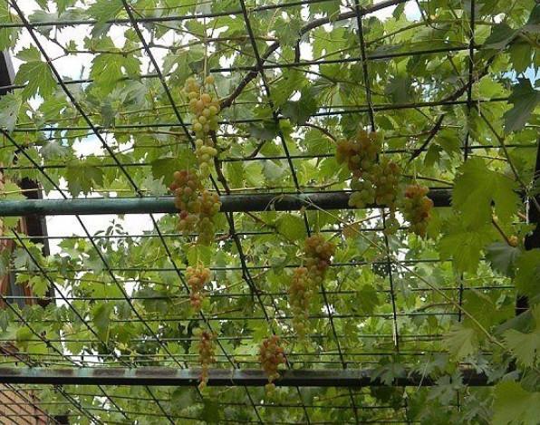 В какое время и как сажать виноград 75