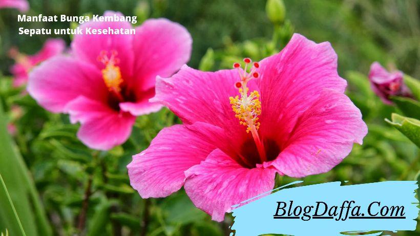 Manfaat Bunga Kembang Sepatu untuk Kesehatan