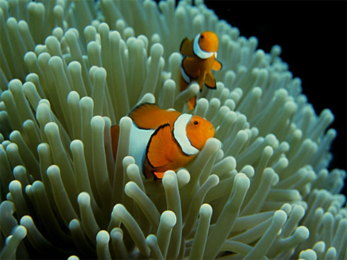 clown fish and anemones symbiotic relationship