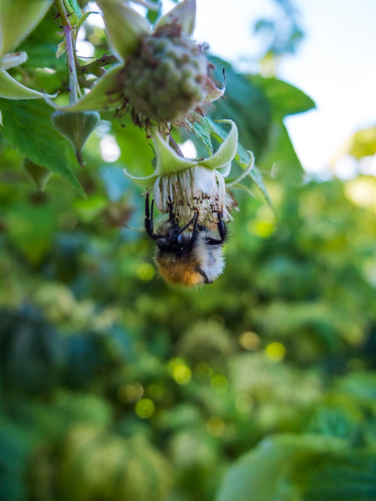A honey bee pollinating a raspberry flower.
