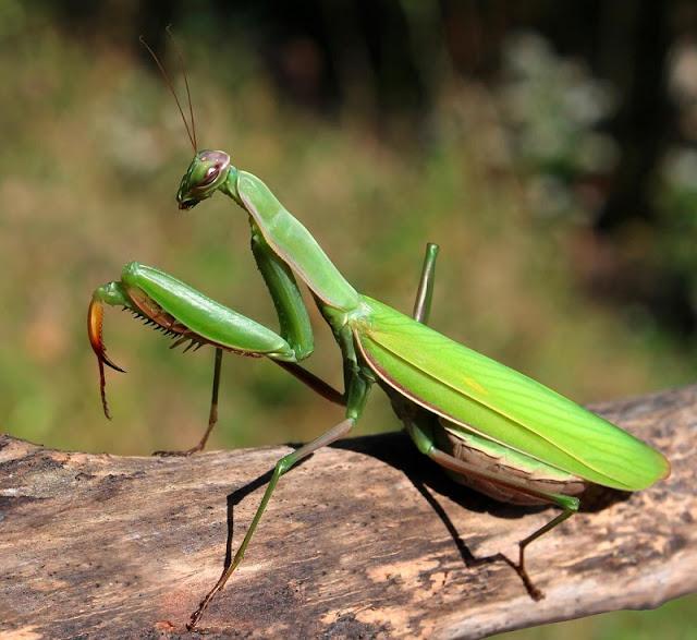 Karkaleci jeshil (emërtimi shkencorë: mantodea)