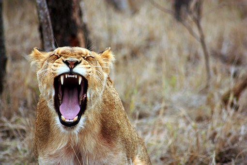 lionesses terrible animal parents worse than you funny mom blog post by Mommy Cusses