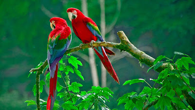 parrot-couple-whing-u-good-morning-wallpapers