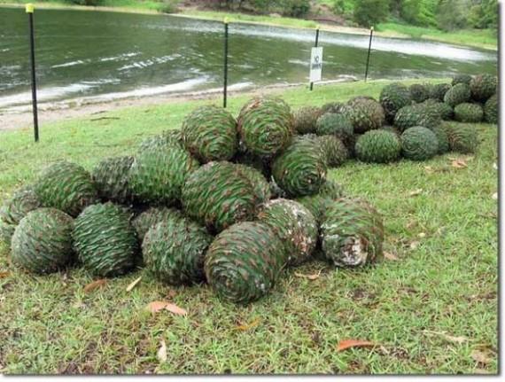 Buah Raksasa Pohon Cemara Ini Bisa Membunuh Anda
