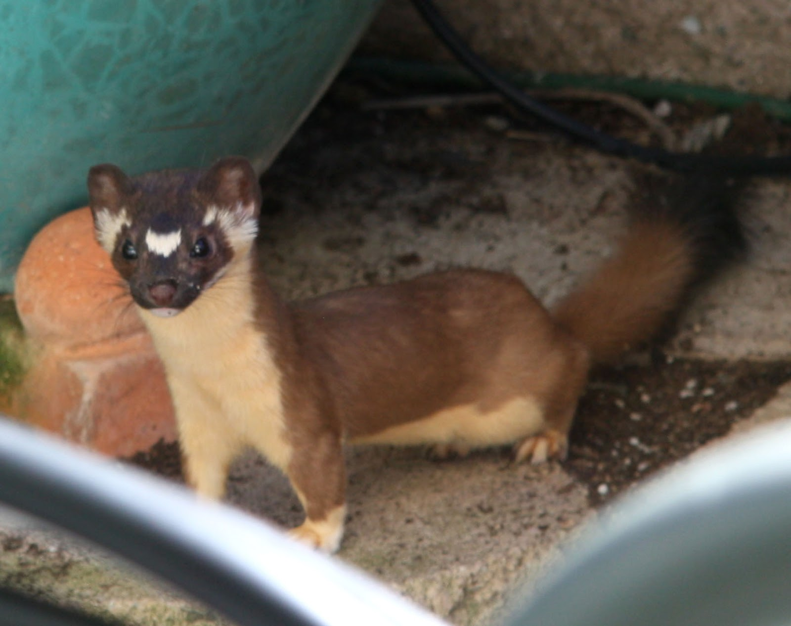 duchess trading california native long tailed weasel