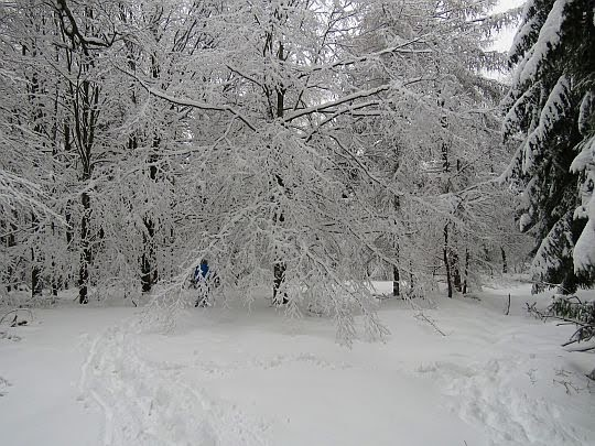 Obielone drzewo na szlaku.