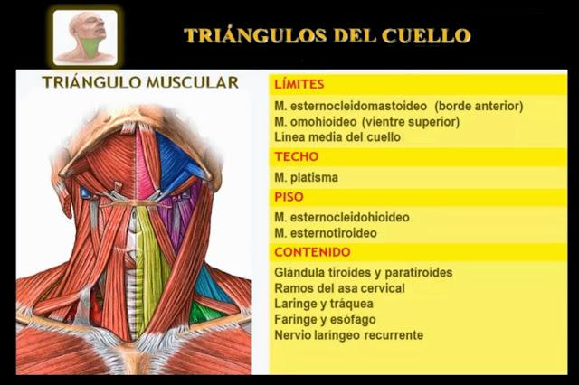 Triángulo muscular del cuello