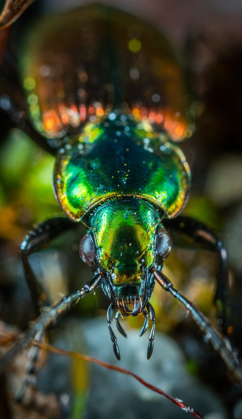 Picture of a colorful beetle.