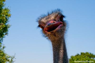 Maior ave do mundo, maior pássaro do mundo, qual é a maior ave do mundo, avestruz, ave, África, avestruz africano, avestruz árabe, aves da áfrica, Struthio camelus, Common Ostrich, Ostrich