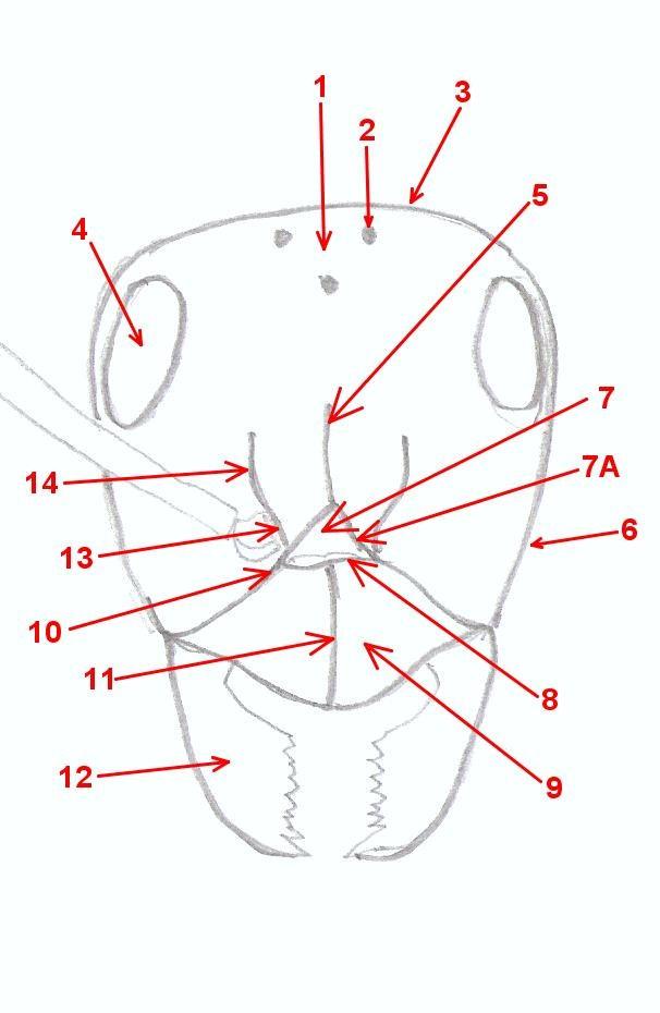 Hormigas Amarillas: Anatomía general de las hormigas (3). Cabeza.