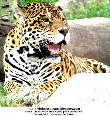 Foto del Otorongo del Parque Zoológico de Huachipa (Lima - Perú). Foto del otorongo tomada por Jesus Gómez