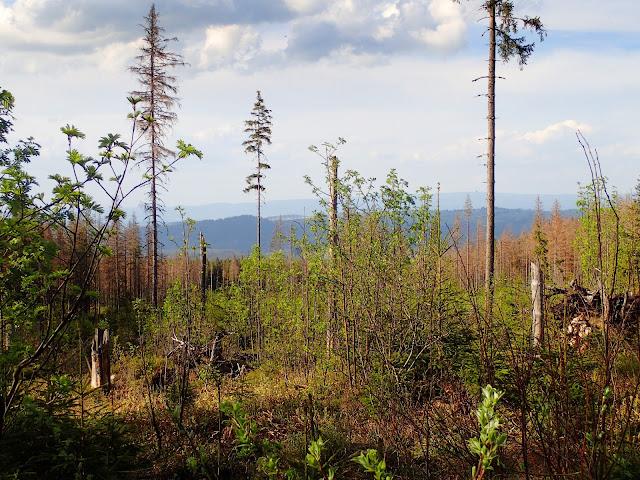 Wiatrołomy i niskie drzewa powodują, że można zobaczyć okoliczne górki