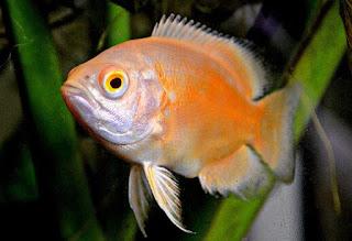 Jenis Ikan Oscar dan Harganya, Oscar Albino Red