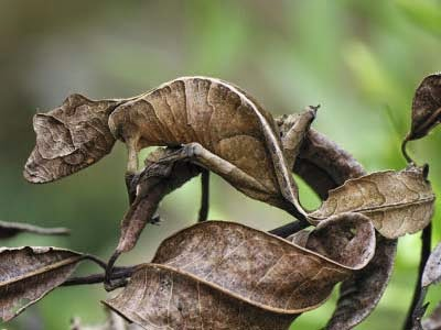 Tokek Siluman Berekor Daun (Uroplatus Phantasticus)