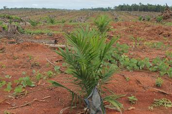 4 Langkah Mudah Dalam Proses Penanaman (Planting) Kelapa Sawit Terbaru 2018