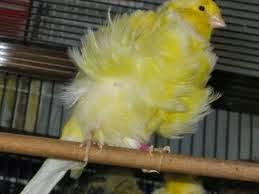 kenari frill kuning