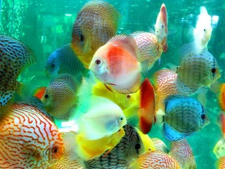 Ingin Memelihara Ikan Discus? Perhatikan Hal-hal Ini
