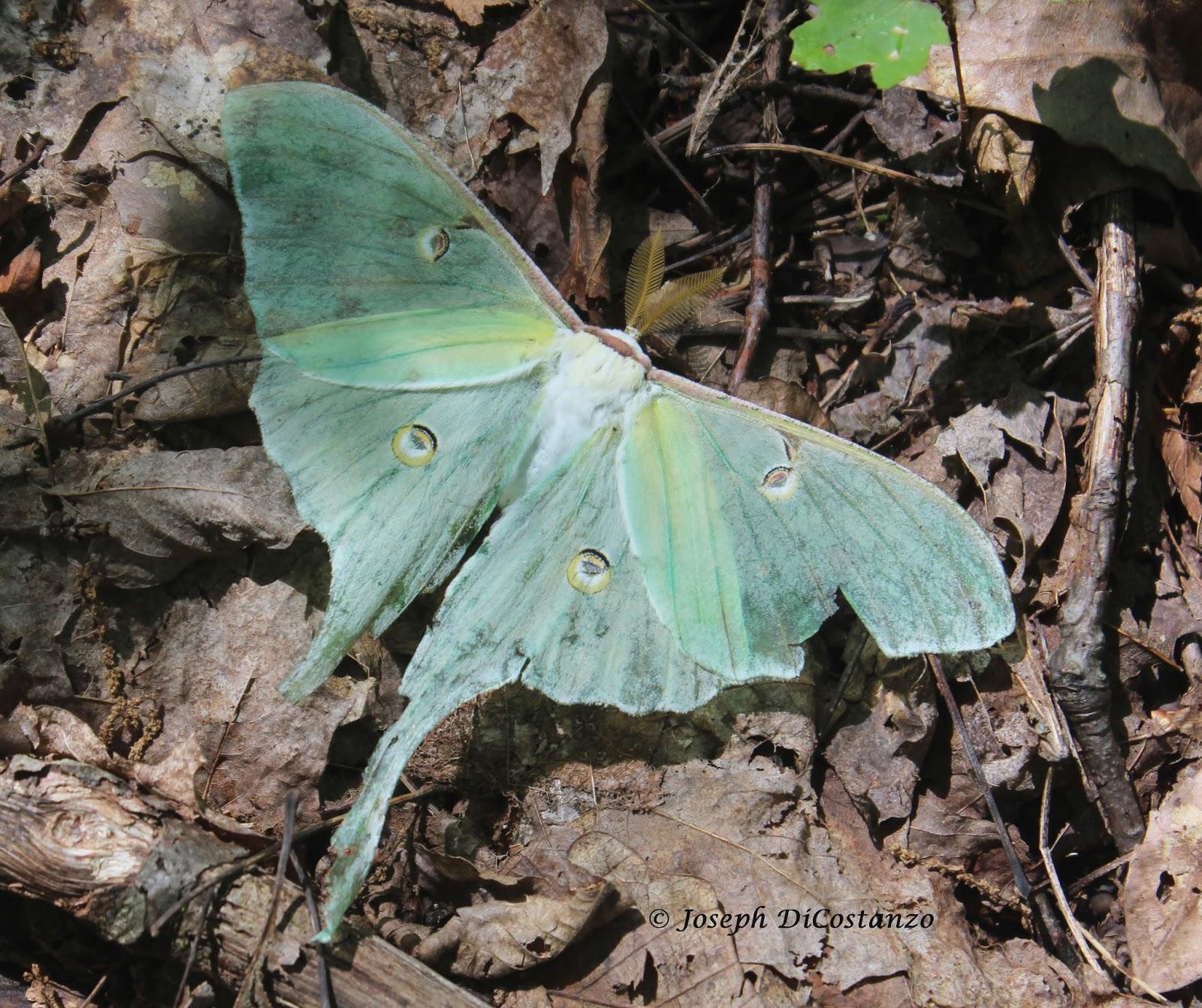 Inwood Birder: July - Moths, Butterflies, Amphibians, and Birds