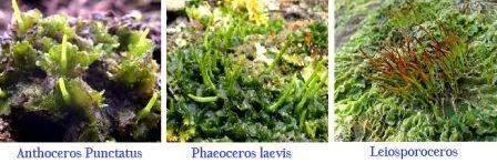 Ciri-Ciri Klasifikasi Tumbuhan Lumut (Bryophyta)