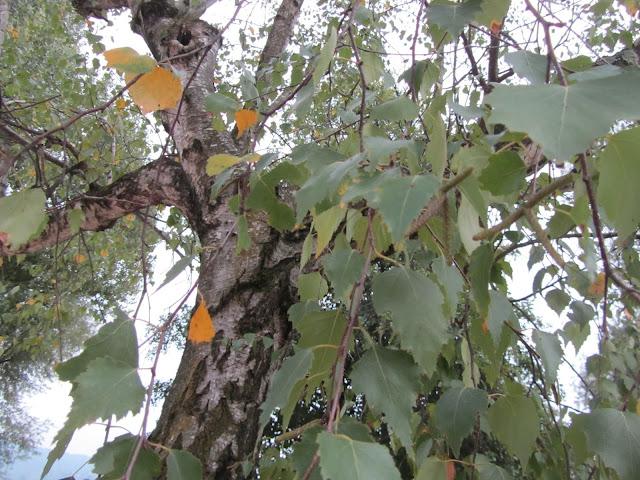 Betula pendula bark
