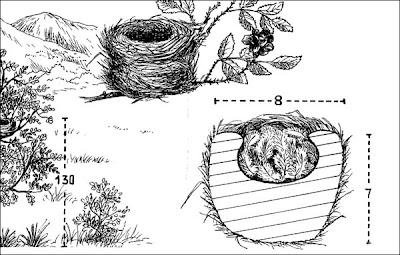 nido de Cachudito pico negro Anairetes parulus