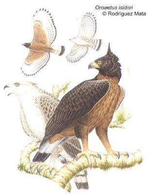 rapaces de Argentina Águila poma Oroaetus isidori