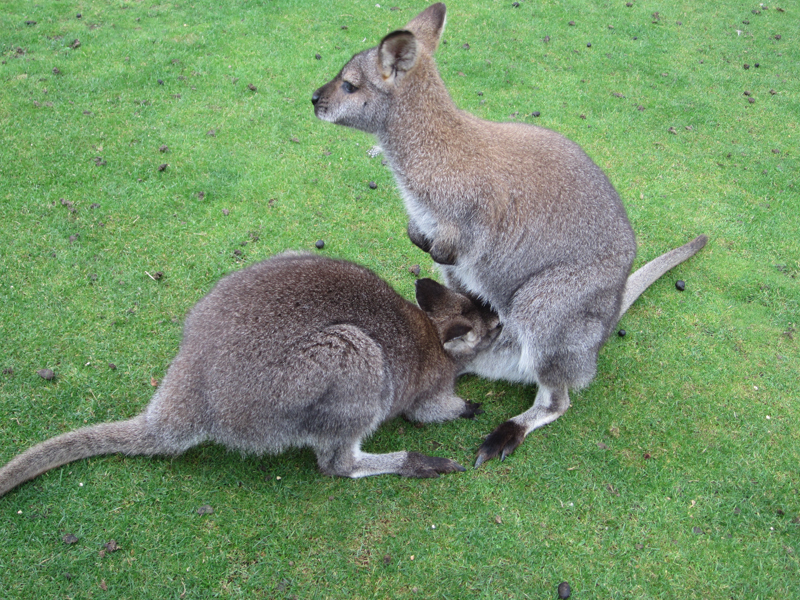 My Animal Facts Wallaby Wobble
