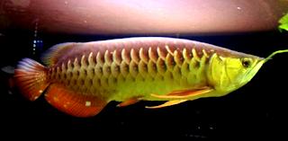 Gambar arwana banjar gold red