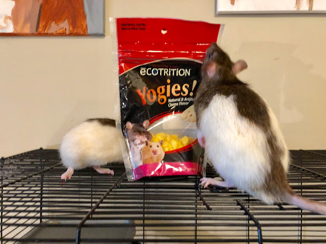 pet rats admiring a bag of treats