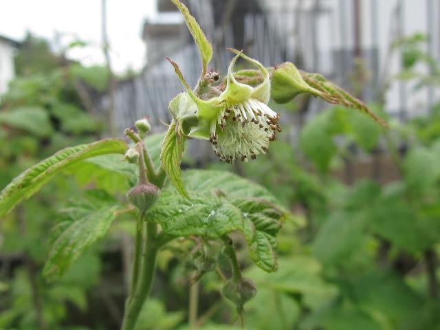 Fiore Rubus idaeus