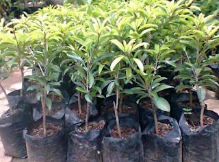 Jual Bibit Tanaman Buah Sawo | Jual Aneka Bibit Pohon Buah | Suplier Tanaman Buah