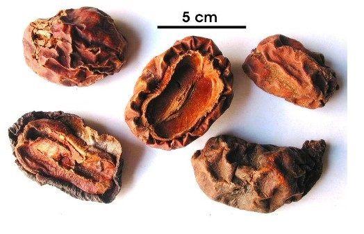 Quả khô Mộc Qua - Chaenomeles lagenaria - Nguyên liệu làm thuốc Chữa Tê Thấp và Đau Nhức