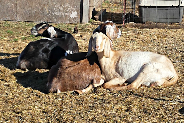 Goats basking in the sunshine