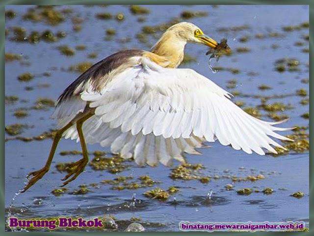 gambar burung blekok
