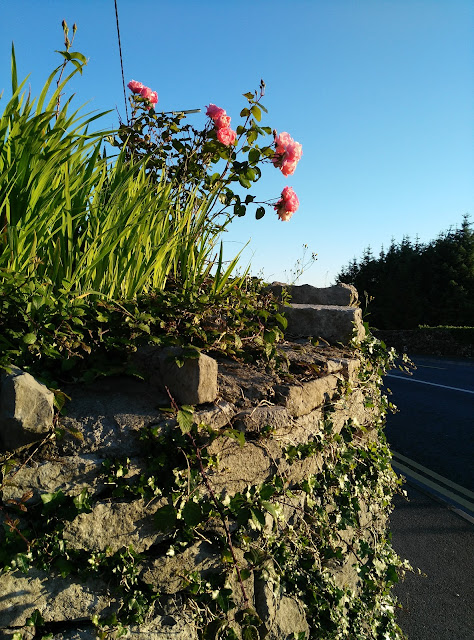 roses growing on a wall