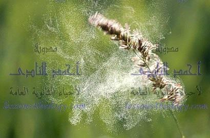 عملية التلقيح فى النباتات الزهرية بالرياح